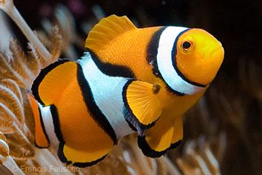 True percula clownfish stanley 39 s fish tank for Clown fish scientific name